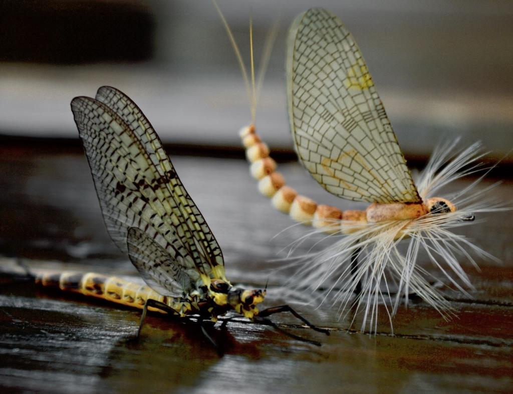 Maifliegenfischen in der Fränkische Schweiz